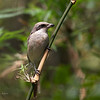 BROWN SHRIKE <i>Lanius cristatus</i> Pagudpud, Ilocos Norte