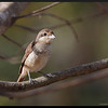 BROWN SHRIKE <i>Lanius cristatus</i> Alabang, Muntnlupa, Philippines