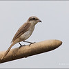 BROWN SHRIKE <i>Lanius cristatus</i> Candaba, Pampanga, Philippines