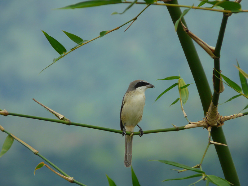 BROWN SHRIKE <i>Lanius cristatus</i> Canyon Woods, Philippines