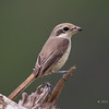 BROWN SHRIKE =