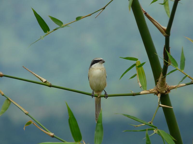 BROWN SHRIKE <i>Lanius cristatus</i> Canyon Woods, Philippines