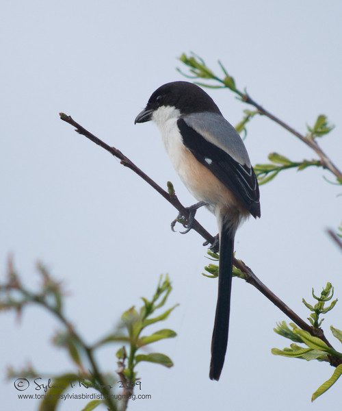LONG TAILED SHRIKE  <i>Lanius schach</i> Alabang, Philippines