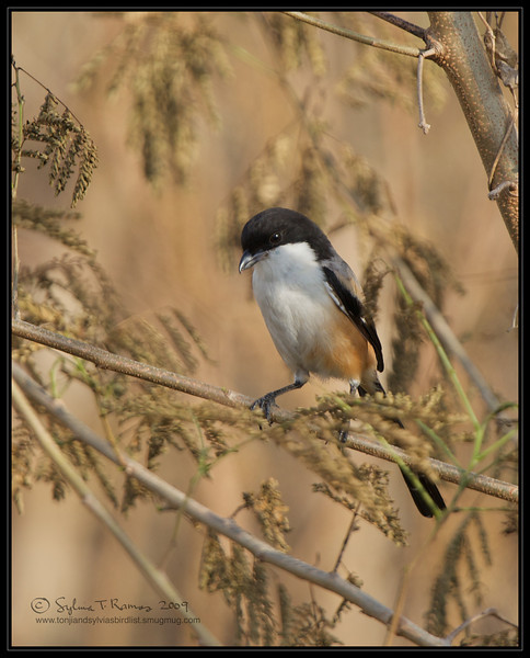 LONG TAILED SHRIKE  <i>Lanius schach</i> Macapagal, Manila, Philippines