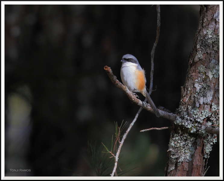 MOUNTAIN SHRIKE <i>Lanius validirostris</i> Mt. Data, Mountain Province, Philippines