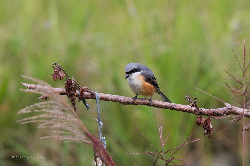 MOUNTAIN SHRIKE <i>Lanius validirostris</i> Mt. Polis, Mountain Province, Philippines