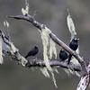 APO MYNA <i>Basilornis miranda</i> Mt. Apo