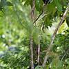 APO MYNA <i>Basilornis miranda</i> Mt. Kitanglad, Bukidnon, Philippines
