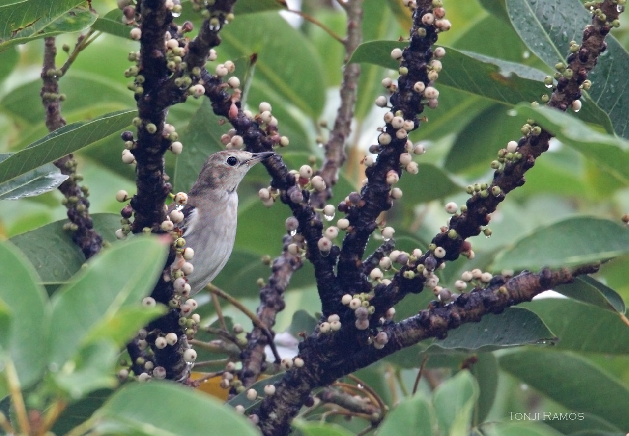 CHESTNUT-CHEEKED STARLING <i>Sturnus philippensis</I> Batan, Batanes, Philippines