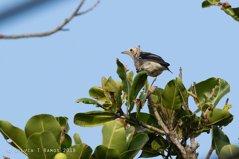 CHESTNUT-CHEEKED STARLING