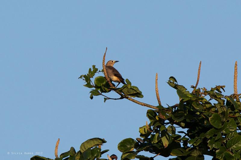 CHESTNUT-CHEEKED STARLING <i>Sturnus philippensis</I> Canlubang, Laguna, Philippines