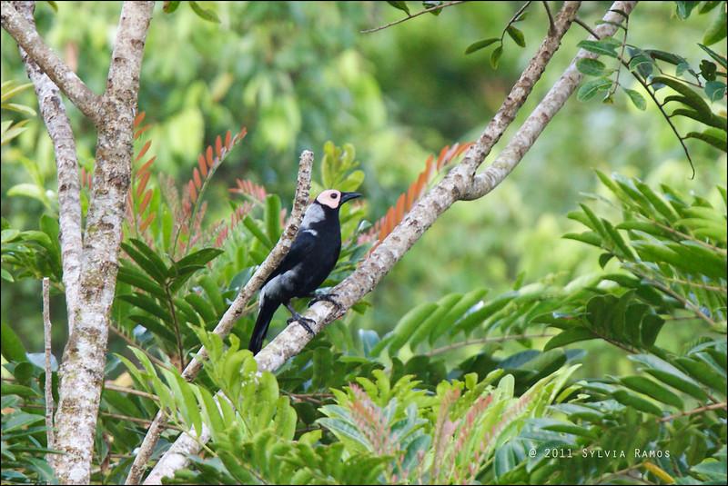COLETO <i>Sarcops calvus</i> Twin Lakes, Sibulan, Negros Oriental, Philippines