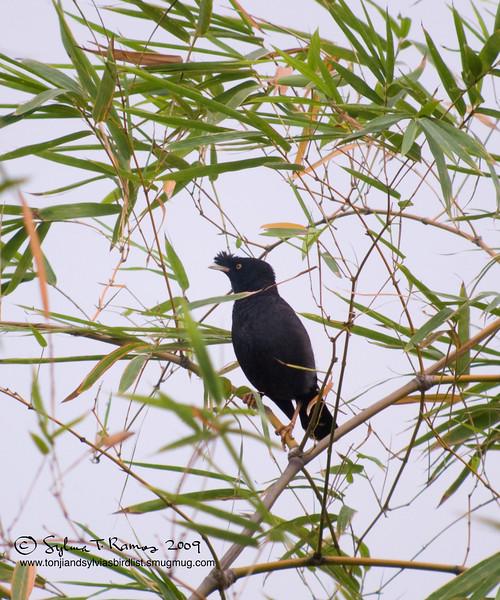 CRESTED MYNA <i>Acridotheres cristatellus</i> Alabang, Muntinlupa, Philippines