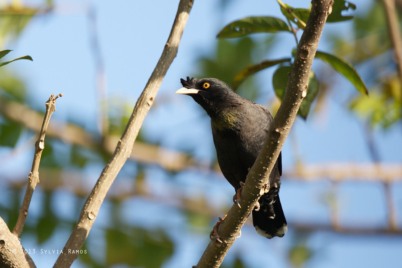 CRESTED MYNA <i>Acridotheres cristatellus</i> Alabang, Muntinlupa, Philippines  This was outside my bedroom window.