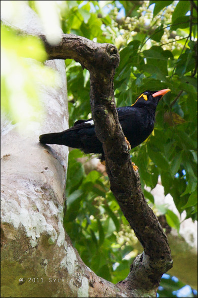 COMMON HILL MYNA <i> Gracula religiosa palawanensis</i> Iwahig, Puerto Princesa, Palawan