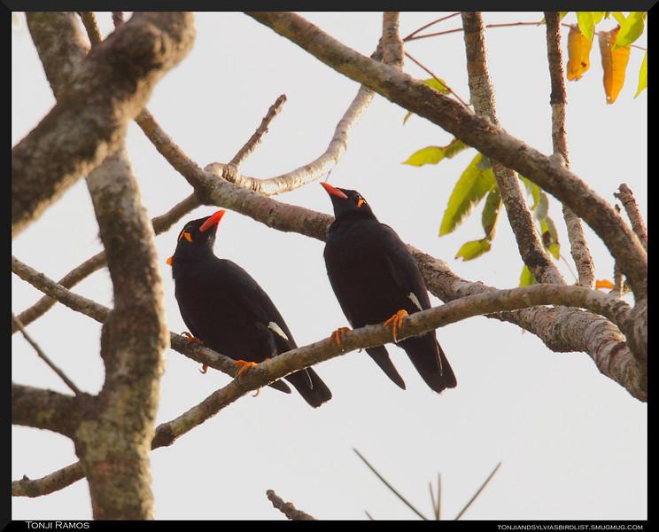COMMON HILL MYNA <i> Gracula religiosa palawanensis</i> Coron, Palawan, Philippines