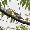STRIPE-BREASTED RHABDORNIS <i>Rhabdornis inornatus</i> Mt. Kitanglad, Bukidnon