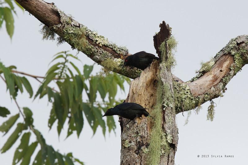SHORT TAILED STARLING  <i>Aplonis minor</i> Mt. Kitanglad, Bukidnon, Philippines