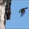 STRIPE HEADED RHABDORNIS <i>Rhabdornis mystacalis</i> Los Baños, Laguna
