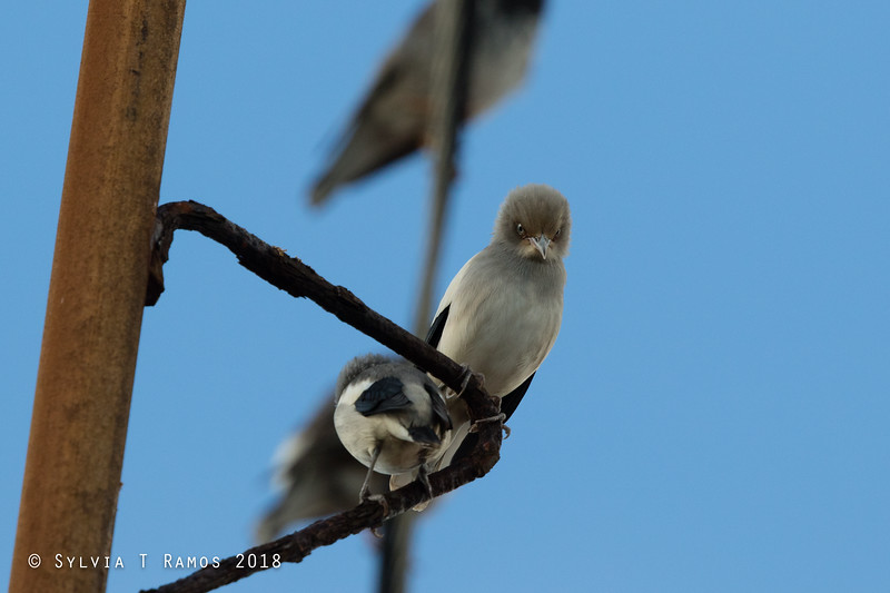 WHITE-SHOULDERED STARLING