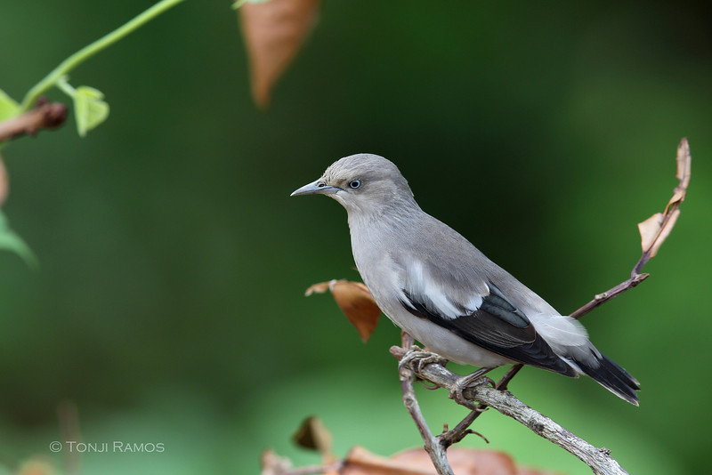 WHITE-SHOULDERED STARLING <i>Sturnus sinensis</i> Batan, Batanes, Philippines