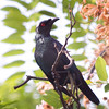 ASIAN GLOSSY STARLING <i>Aplonis panayensis</i> Caylabne, Cavite, Philippines