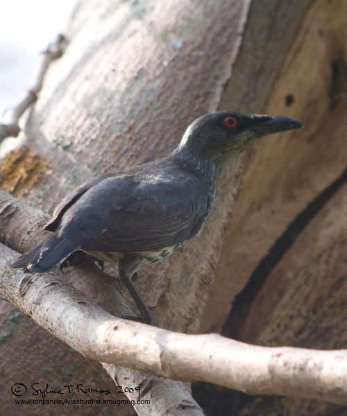 ASIAN GLOSSY STARLING  <i>Aplonis panayensis</i> Caylabne, Cavite, Philippines  immature