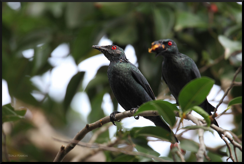 ASIAN GLOSSY STARLING <i>Aplonis panayensis</i> Ayala Alabang Village, Philippines