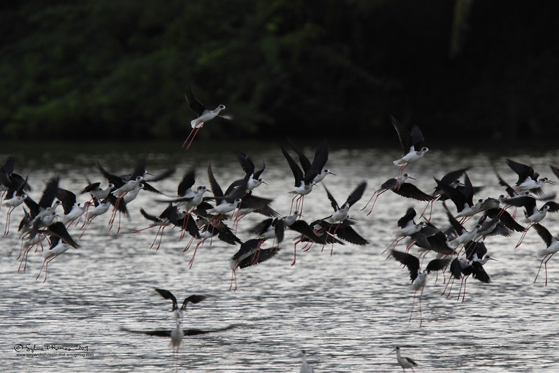 BLACK WINGED STILT  <i>Himantopus himantopus</i> San Juan, Batangas, Philippines