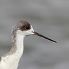 BLACK WINGED STILT  <i>Himantopus himantopus</i> Sabtang, Batanes, Philippines