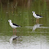 BLACK WINGED STILT  <i>Himantopus himantopus</i> Masantol, Pampanga, Philippines