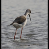 BLACK WINGED STILT  <i>Himantopus himantopus</i> Candaba, Pampanga, Philippines  hunting
