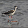 BLACK WINGED STILT  <i>Himantopus himantopus</i> Candaba, Pampanga, Philippines