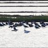 PIED AVOCET <i>Recurvirostra avosetta</i> Candaba, Pampanga, Philippines