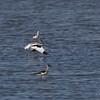 PIED AVOCET <i>Recurvirostra avosetta</i> Malalag, Davao del Sur, Mindanao