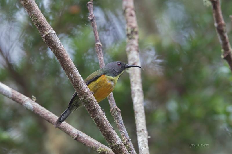 APO SUNBIRD, female <i>Aethropyga boltoni</i> Mt. Apo
