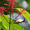 BOHOL SUNBIRD <i>Aethopyga decorosa</i> Rajah Sikatuna Park, Bilar, Bohol