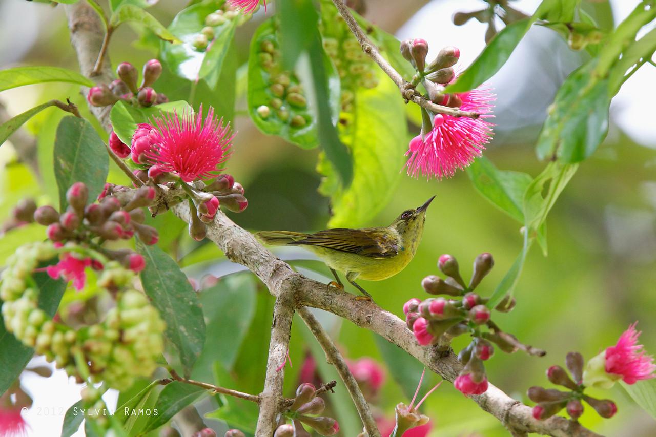 BROWN THROATED SUNBIRD <i>Anthreptes malacensis</i> Mapawa Nature Reserve, Malasag, Cagayan de Oro