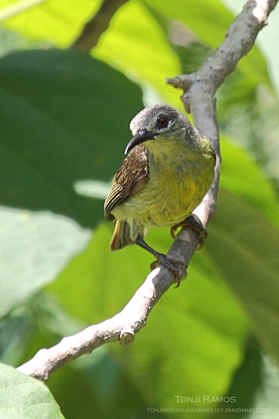 BROWN THROATED SUNBIRD, female <i>Anthreptes malacensis</i> Puerto Princesa, Palawan