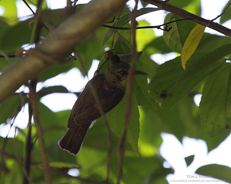 BROWN THROATED SUNBIRD, male <i>Anthreptes malacensis</i> Puerto Princesa, Palawan