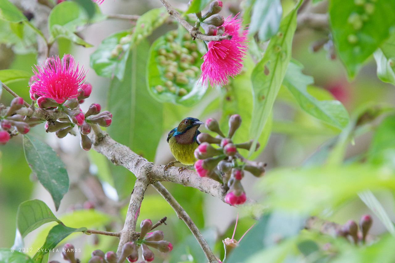 BROWN THROATED SUNBIRD, male  <i>Anthreptes malacensis</i> Mapawa Nature Reserve, Malasag, Cagayan de Oro