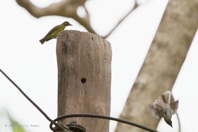 BROWN THROATED SUNBIRD, female  <em>Anthreptes malacensis</em> Mapawa Nature Reserve, Malasag, Cagayan de Oro
