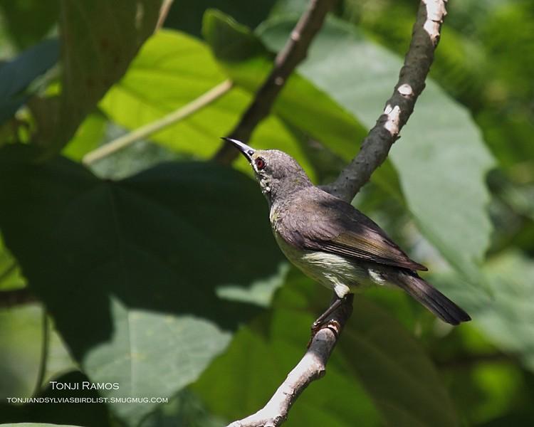 BROWN THROATED SUNBIRD, female <em>Anthreptes malacensis</em> Puerto Princesa, Palawan