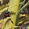 COPPER-THROATED SUNBIRD <i>Nectarinia calcostetha</i> Puerto Princesa, Palawan, Philippines