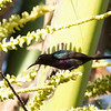 COPPER-THROATED SUNBIRD <i>Nectarinia calcostetha</i> Puerto Princesa, Palawan, Philippines