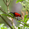 MAGNIFICENT SUNBIRD