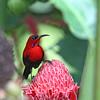 CRIMSON SUNBIRD <i>Aethopyga siparaja</i> Valencia, Negros Oriental, Philippines