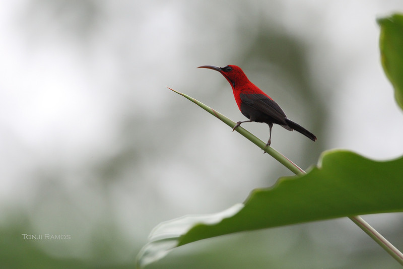 CRIMSON SUNBIRD <i>Aethopyga siparaja</i> Tabucol, Murcia, Negros Occidental Philippines