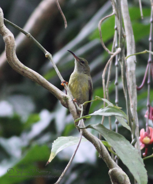 FLAMING SUNBIRD, female <i>Aethopyga flagrans</i> Makiling, Los Baños, Laguna