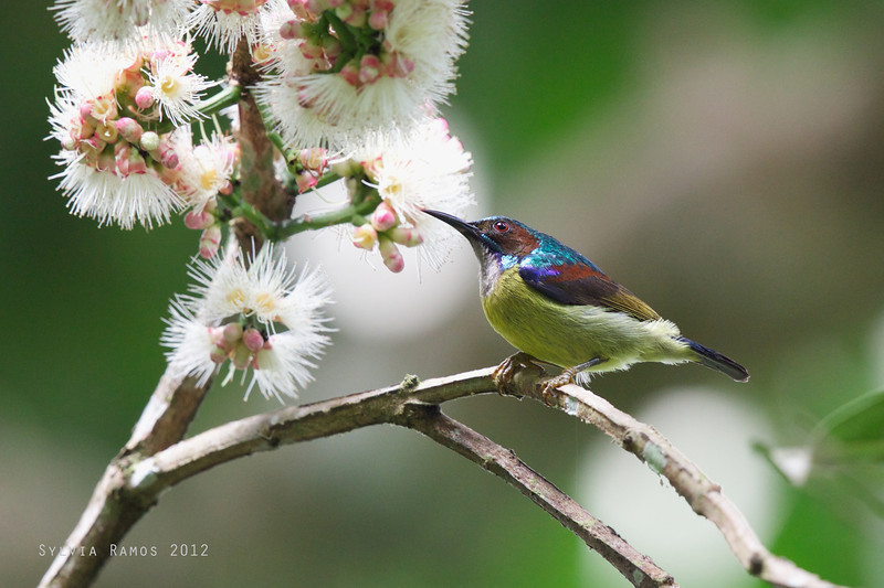 GREY THROATED SUNBIRD  <i>Anthreptes griseigularis</i> Makiling, Laguna